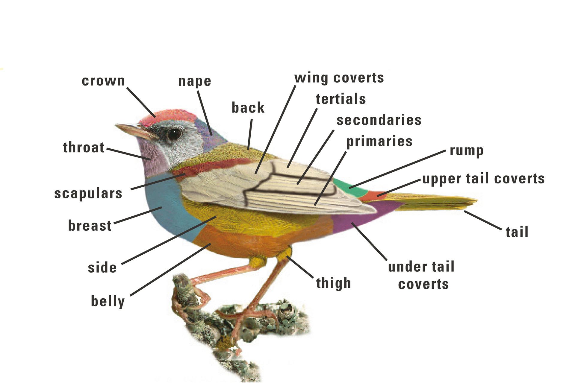 Draw and Label a Bird - DIY