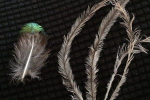Peacock and emu feathers