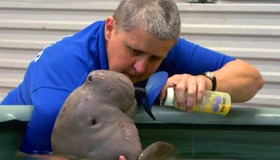 Saving a Baby Dugong