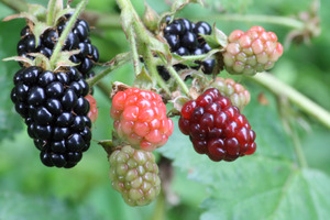 How To Collect Wild Berries