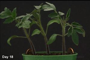 Time-lapse tomato plant