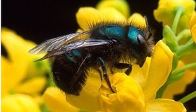 Attracting Mason Bees