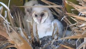 Baby Owl Ejects Pellet