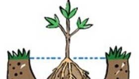 Plant a Burlapped Tree