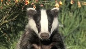 Badger Calls