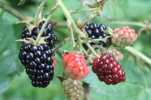 Wild Edibles: Black Rasberry