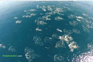 Drone Footage: Dolphin Stampede and Whales