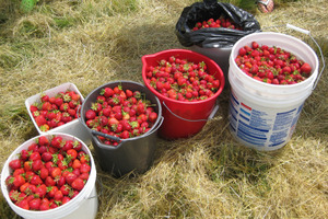 Gleaning Strawberries
