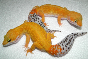 Reptile Breeding Genetics – the Basics