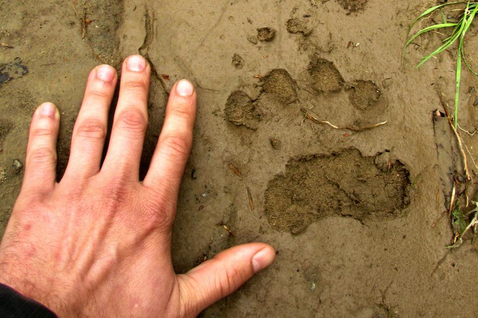 Wild animal track