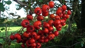 Edible and Poisonous Berries