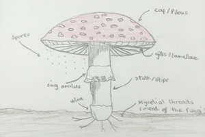 Basic features of a mushroom