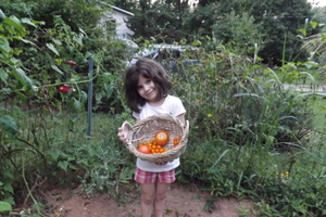 Harvesting tomatoes from the garden