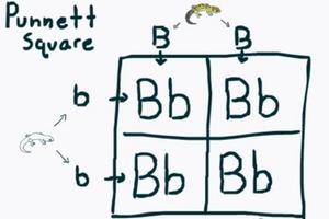 Reptile Breeding Genetics – Punnet Squares