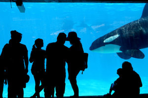 Orcas: Smart Social and Erratic in Captivity