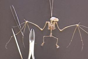 Bat Dissection Time Lapse