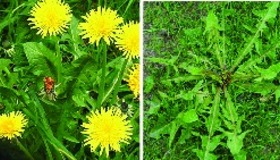 Ten Weeds That Heal