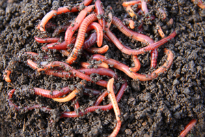 Vermiculture: Composting with Worms
