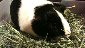 Dental Health for Guinea Pigs