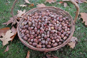 How to Prepare Acorns