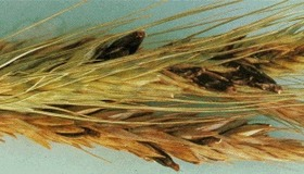 Ergot - Wheat Fungus